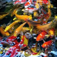 Okrasné ryby